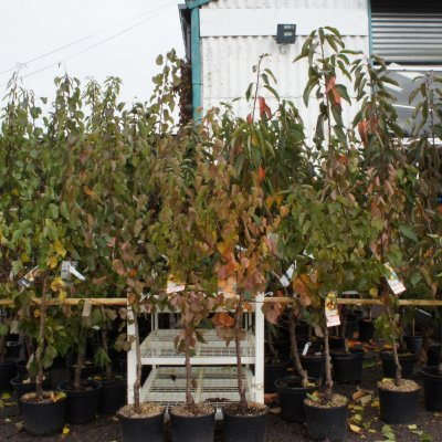 Arbres fruitiers JARDY BERRY BOURGES