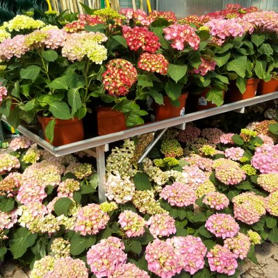 Hortensias Bourges Cher 18